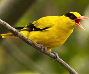 画眉鸟叫声训练及斗鸟技巧